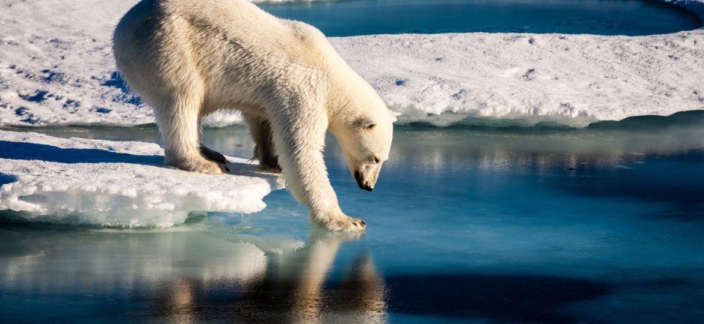 oso polar contaminacuion casino goden palace